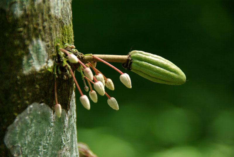 Fleurs Et Cabosse De Cacaoyer